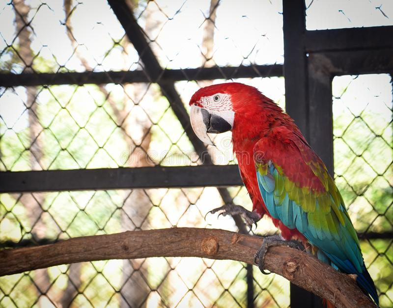 Macaw vert d'aile images stock