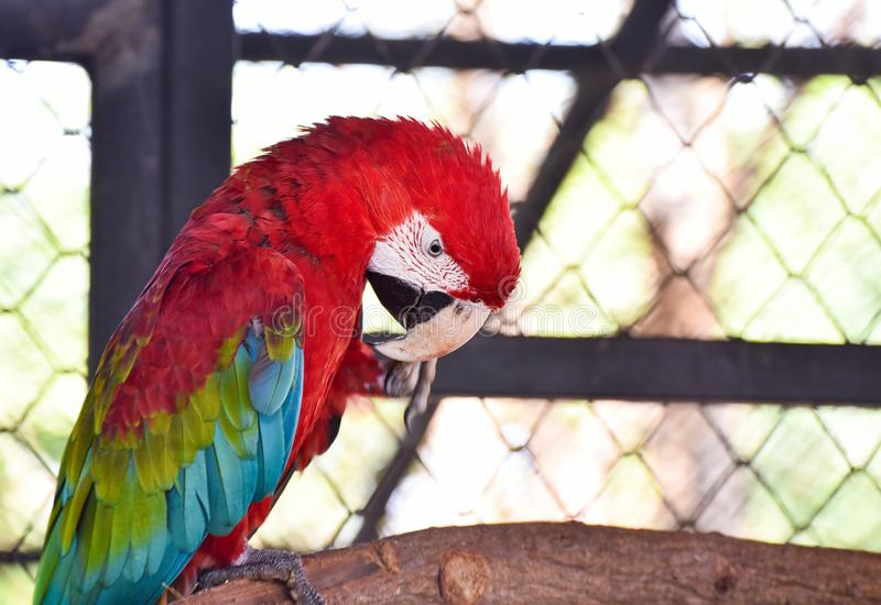 Macaw vert d'aile image stock