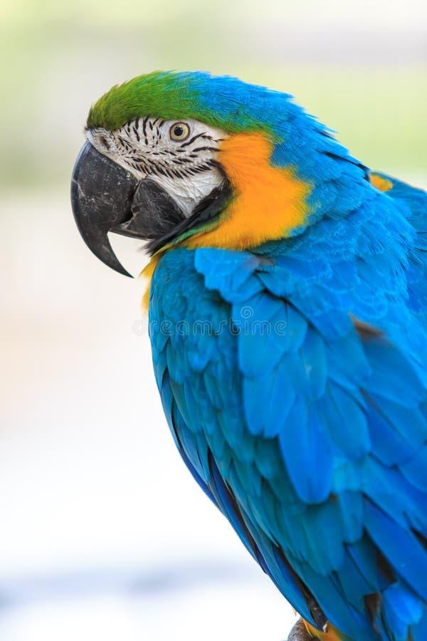 Macaw on white. Beak royalty free stock photos