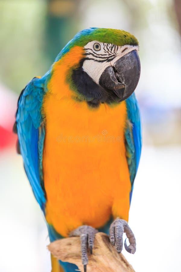 Macaw on white. Beak royalty free stock photography