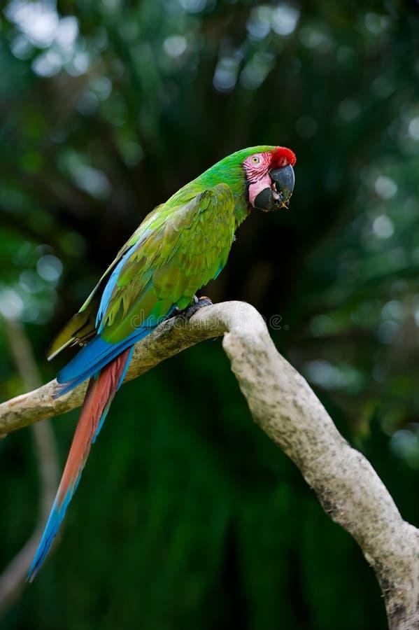 macawmilitär royaltyfri foto