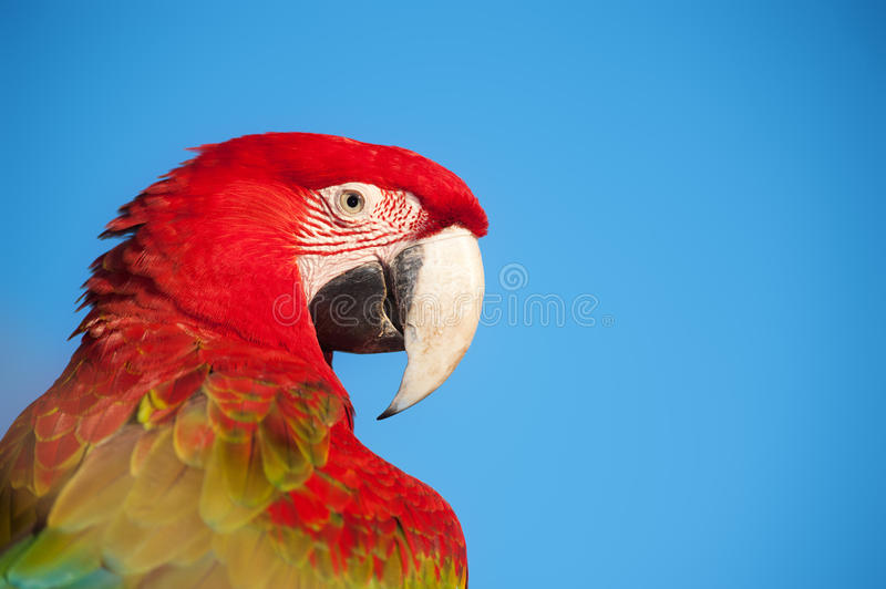 Macawportrait. stockfotos