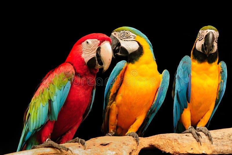 Macaws fotografía de archivo libre de regalías