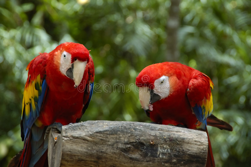 Macaws. Two macaws sitting on a barck of wood in mexico stock photography