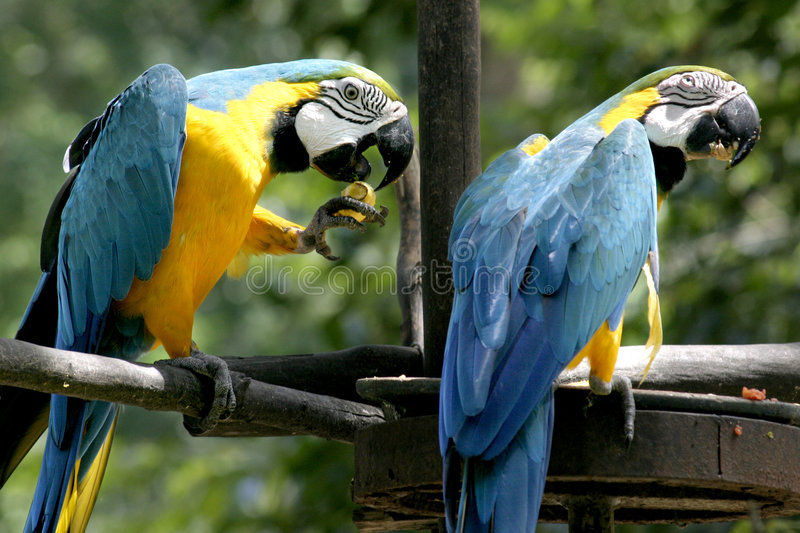 Macaws photo stock