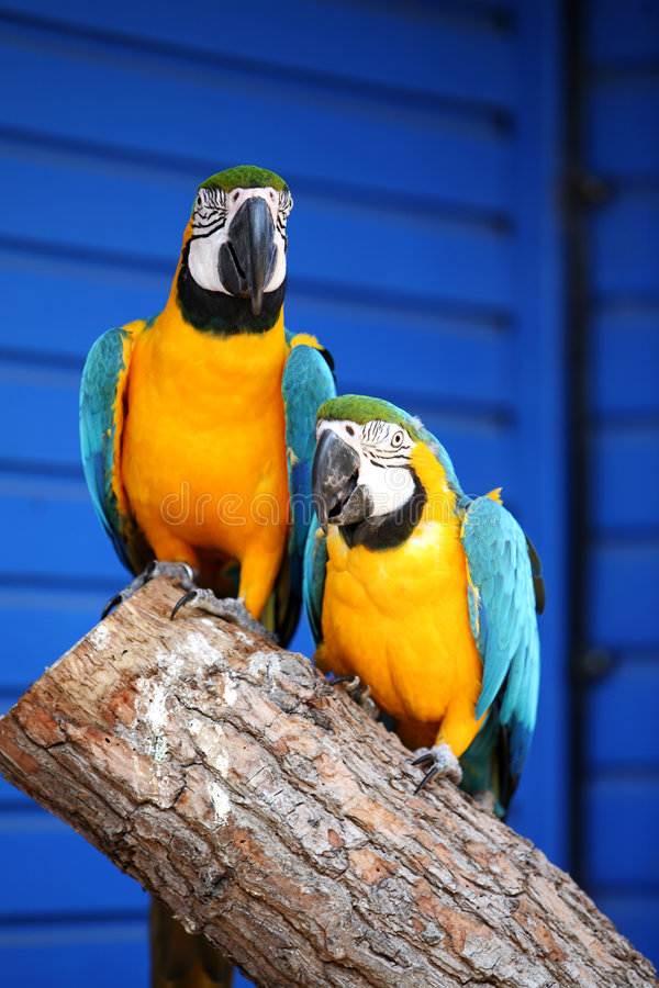 Macaws. Two blue and gold macaws sitting on a branch against a blue background royalty free stock photo
