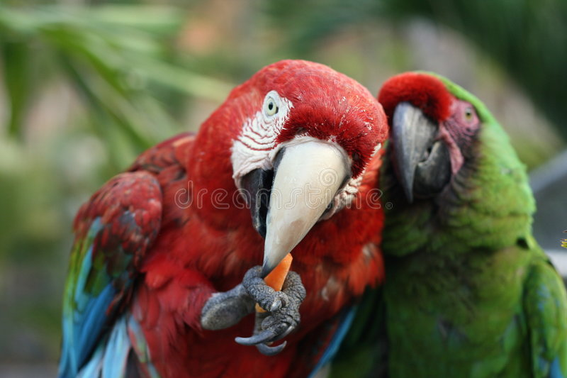 macaws стоковые изображения