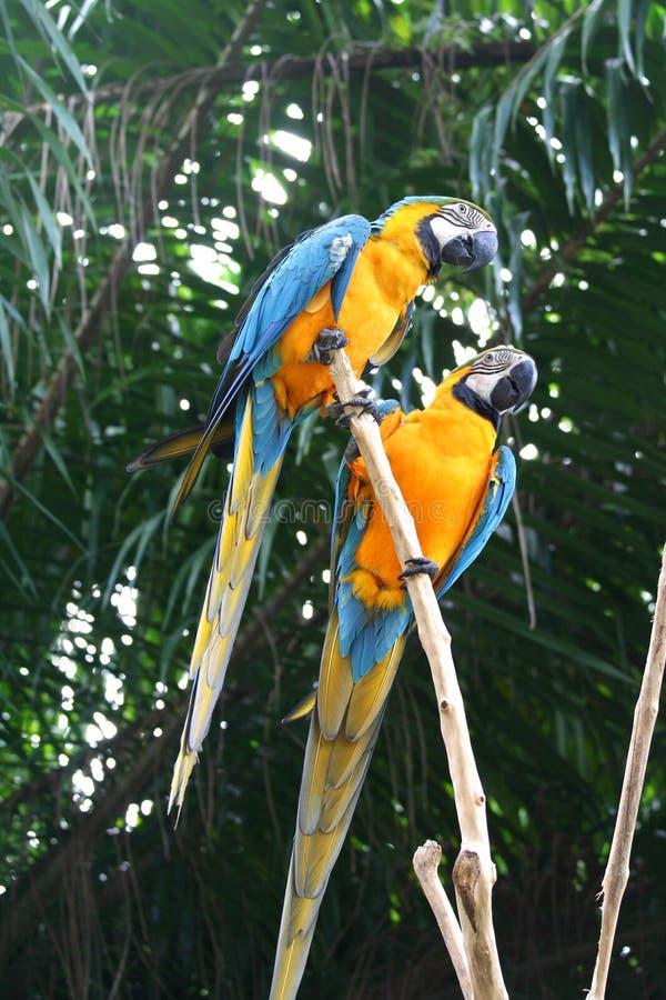 Macaws photo libre de droits
