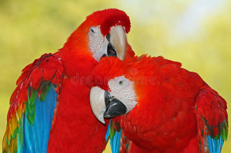 Download Macaws stock image. Image of macaw, feather, colorful - 26724897