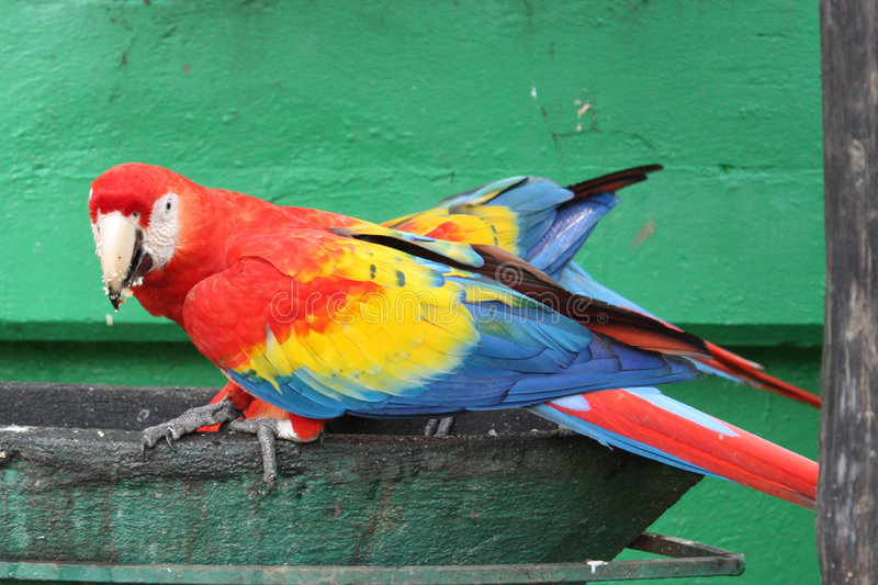 Macaws. Couple of macaws eating fruits and seeds stock photography