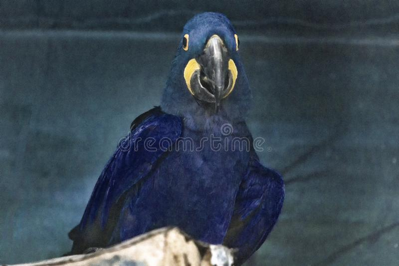 Macaws. The Macaws albirostrison the zoo royalty free stock photos