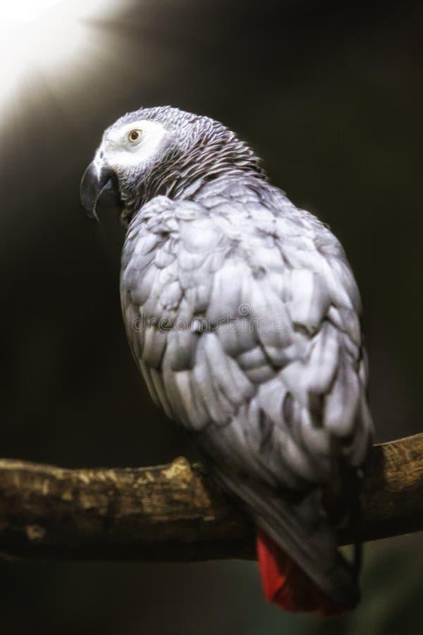 Macaws. The Macaws albirostrison the zoo stock photos