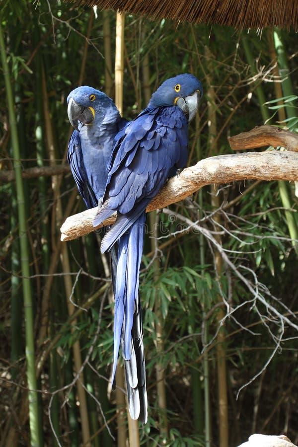 Macaws azules imagen de archivo libre de regalías