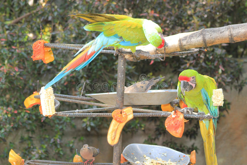 Macaws azules y amarillos que comen la fruta fotos de archivo libres de regalías