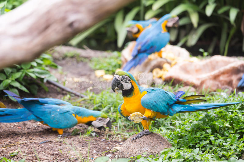 Macaws. A beautiful macaws on wooden royalty free stock photography