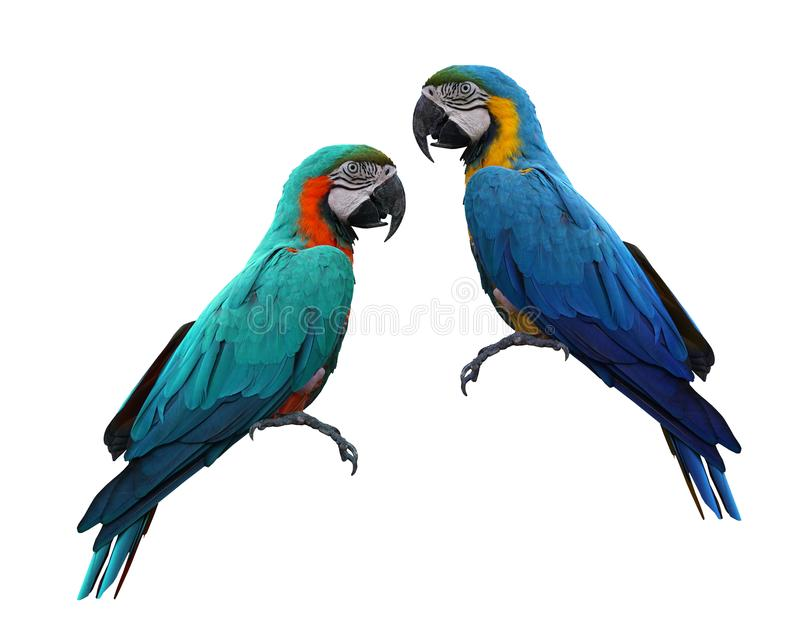 Macaws bird isolated on white background. Macaws bird isolated on white background with clipping path royalty free stock image