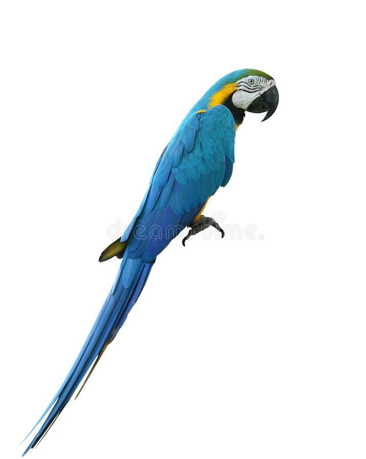 Macaws bird isolated on white background. Macaws bird isolated on white background with clipping path royalty free stock photography
