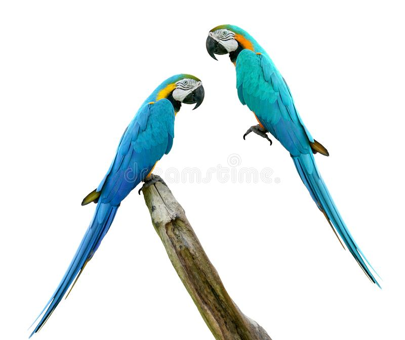 Macaws bird isolated on white background. Macaws bird isolated on white background with clipping path stock photography