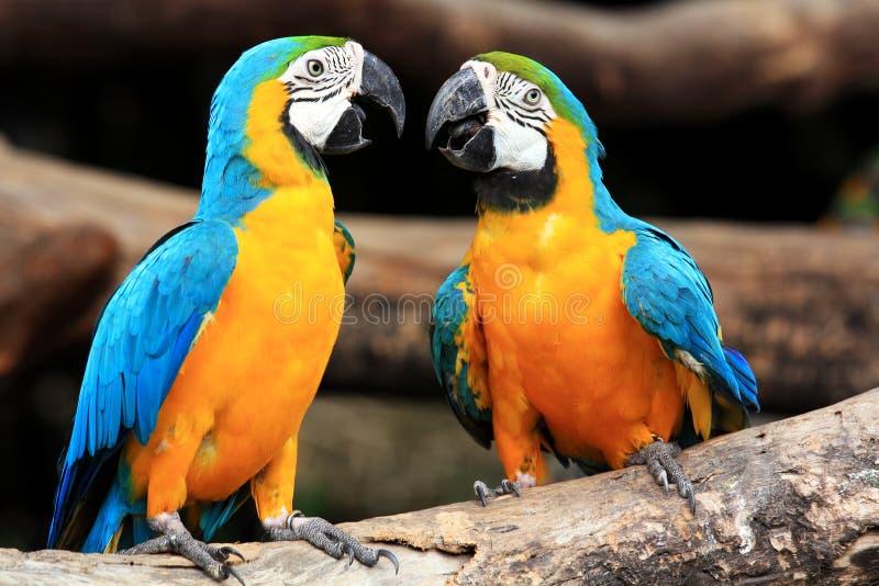 Macaws bleu-et-jaunes de couples (ararauna d'Ara) image libre de droits