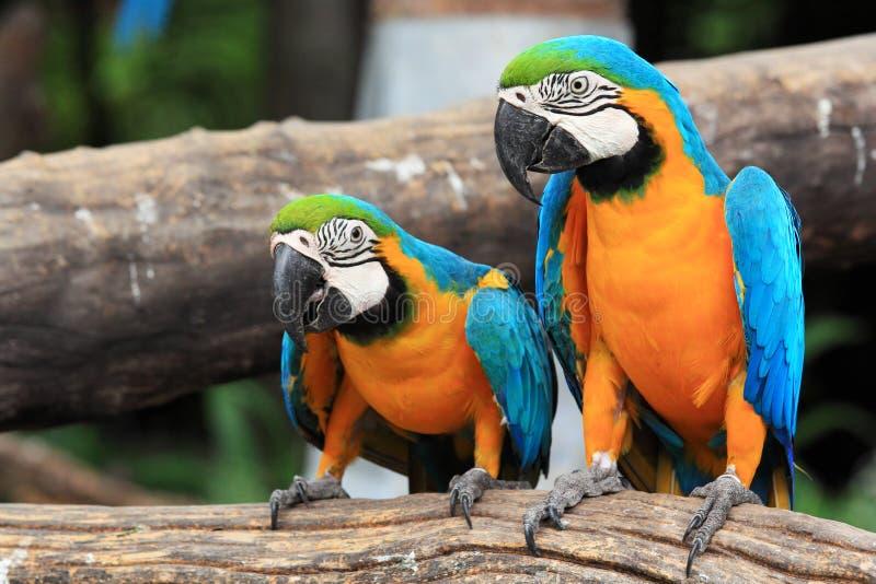 Macaws bleu-et-jaunes de couples (ararauna d'Ara) photographie stock libre de droits