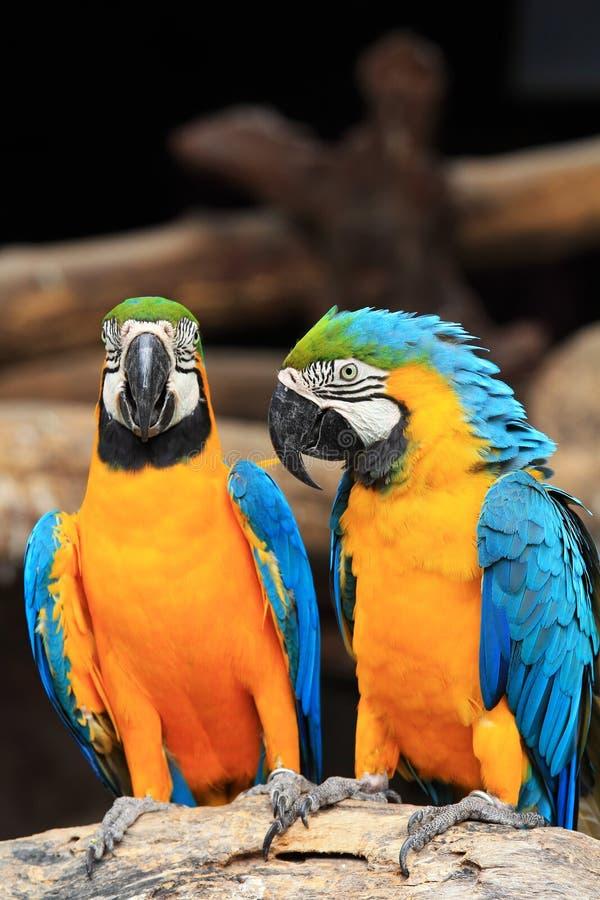 Macaws bleu-et-jaunes de couples (ararauna d'Ara) images stock