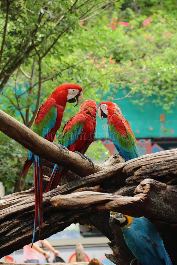 Macaws on the branches. Birds, three, woods, animals, zoo, safari, wildlife, red-macaws, macaw-birds, nature, day, background stock images