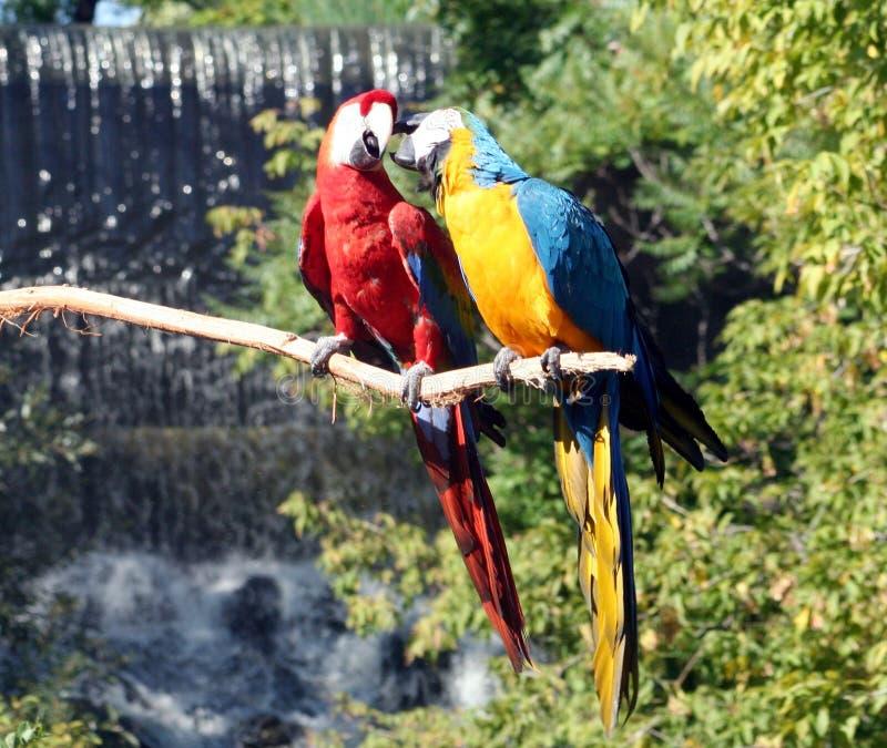 Macaws che Preening fotografia stock