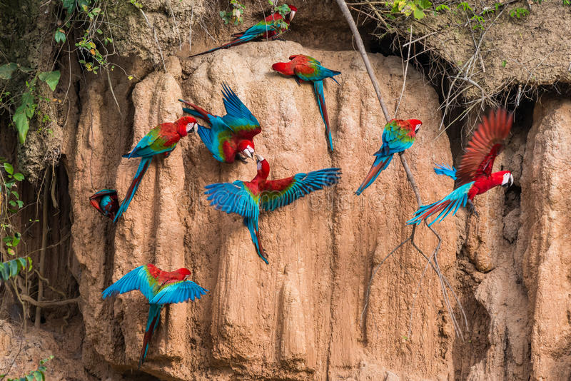 Macaws clay lick peruvian Amazon jungle Madre de Di. Macaws in clay lick in the peruvian Amazon jungle at Madre de Dios Peru stock photography