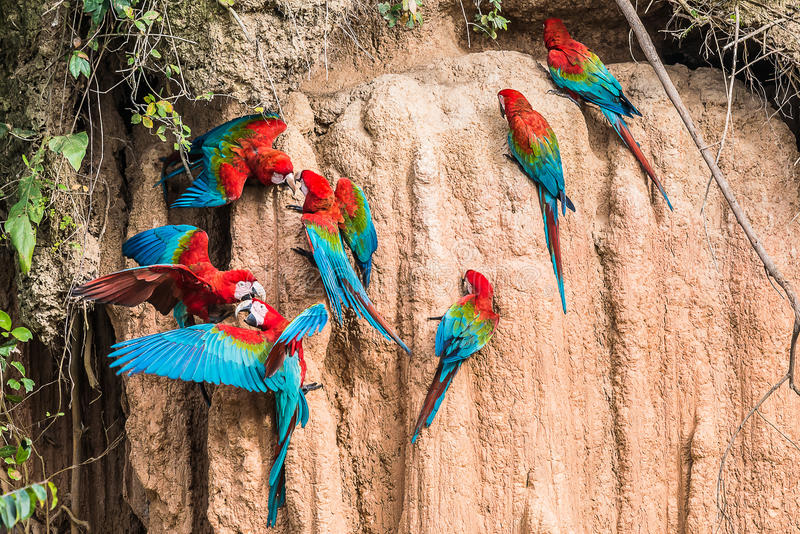 Macaws clay lick peruvian Amazon jungle Madre de Dios Peru. Macaws in clay lick in the peruvian Amazon jungle at Madre de Dios Peru royalty free stock photography