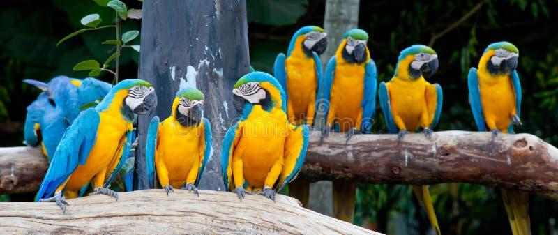 Macaws coloridos foto de archivo