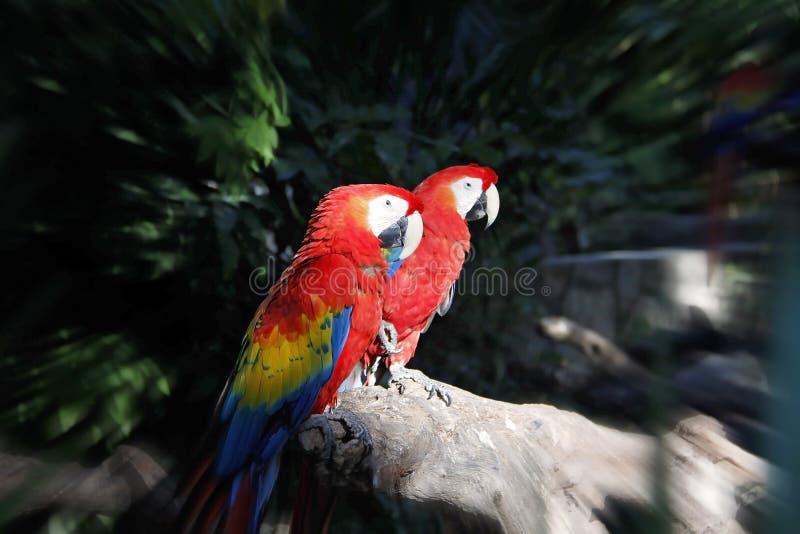 Macaws coloridos de los pares que se sientan en registro foto de archivo