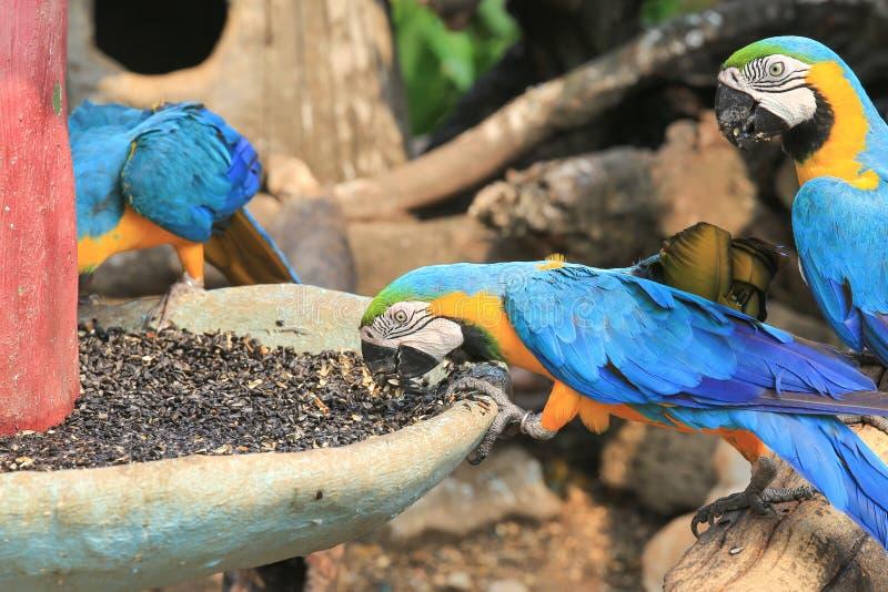 macaws coloridos que comen las semillas imagen de archivo