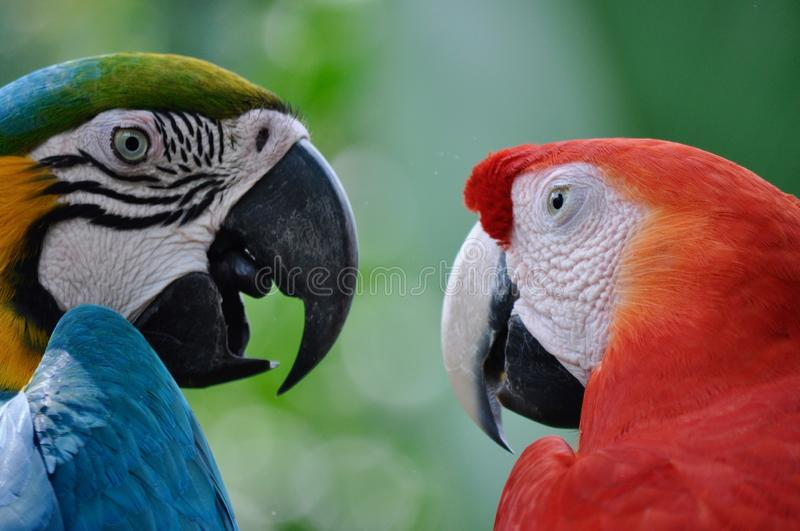 Macaws couple have a conversation symbolising friendship, happiness and freedom royalty free stock image