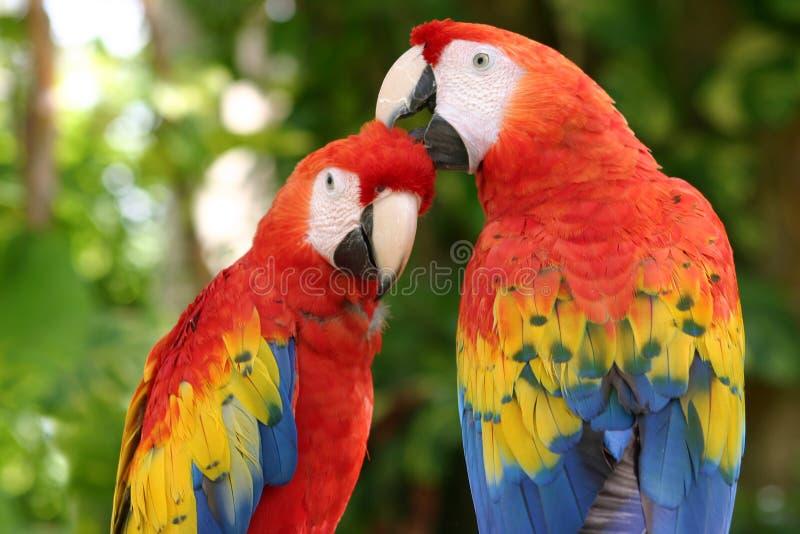 Macaws d'écarlate images libres de droits