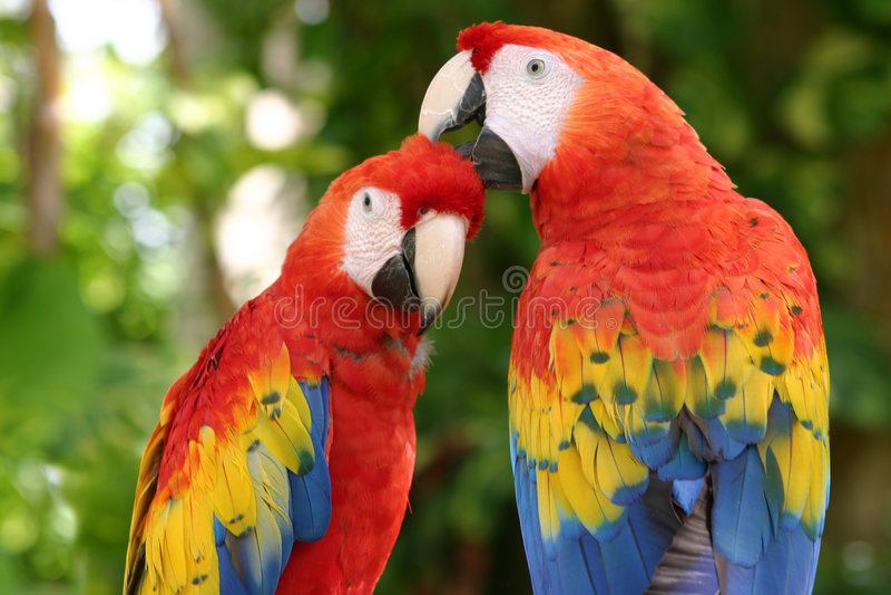 Macaws d'écarlate