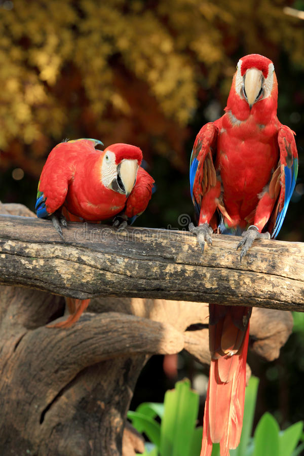Macaws d'écarlate de couples photos stock