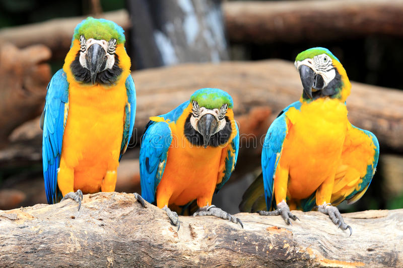 Macaws de perroquet de groupe photographie stock