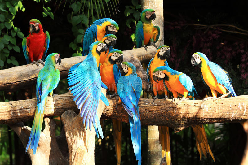 Macaws de perroquet de groupe photos stock