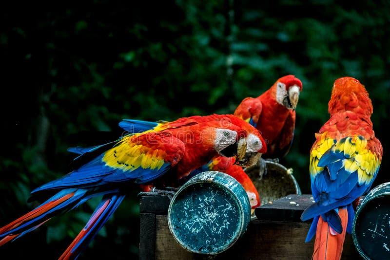 Macaws del escarlata que comen - Copan, Honduras fotografía de archivo