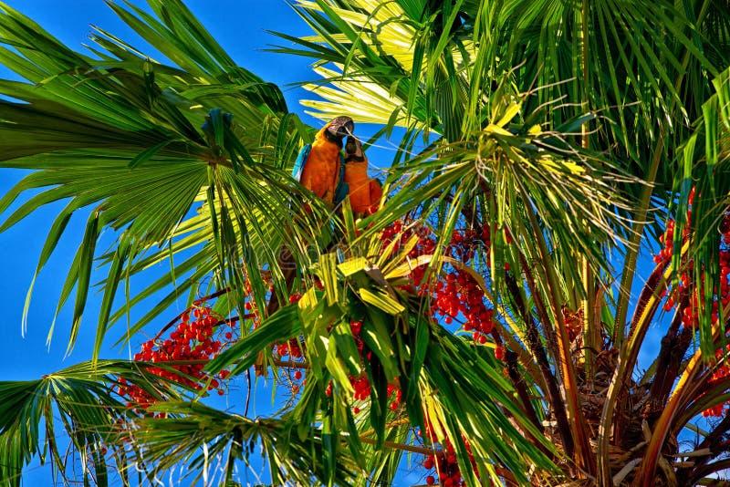 Macaws en la palmera, Puerto Rico imagen de archivo libre de regalías