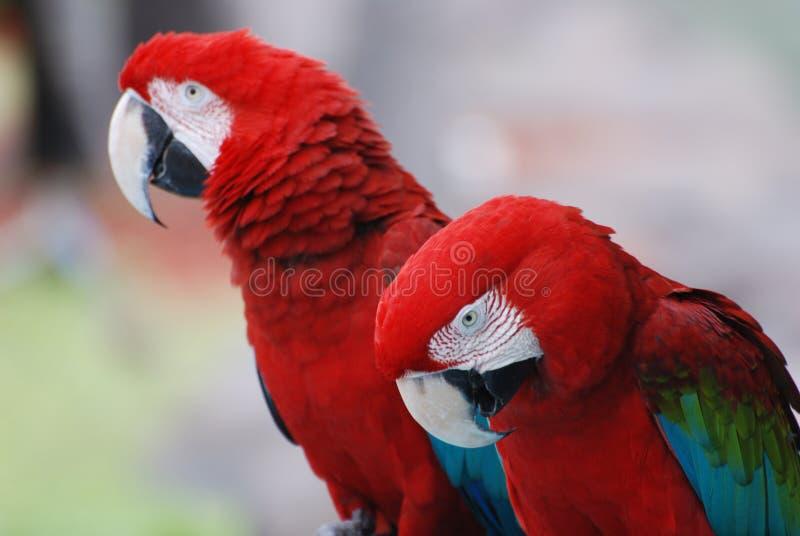Macaws gemelos del escarlata junto en una perca imagen de archivo