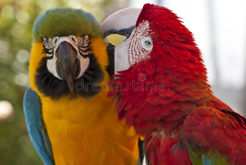Macaws grooming. Two macaws grooming each other in Florida royalty free stock image