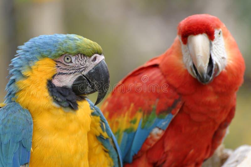 Macaws. Image taken of macaws in Las Leyendas zoo, Lima, Peru royalty free stock images