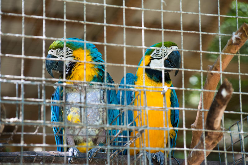 Macaws. A pair of Macaws at Macaw Mountain Bird Park in Honduras royalty free stock photo
