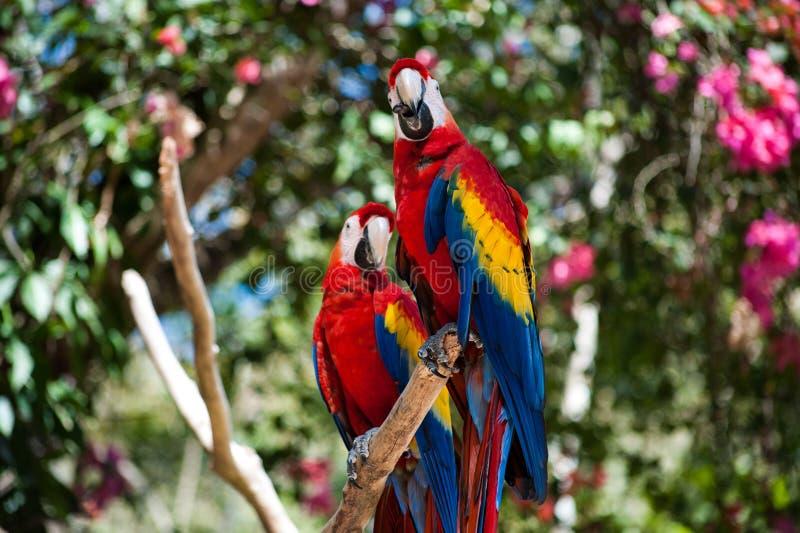 Macaws. A pair of Scarlet Macaws in Honduras royalty free stock photos