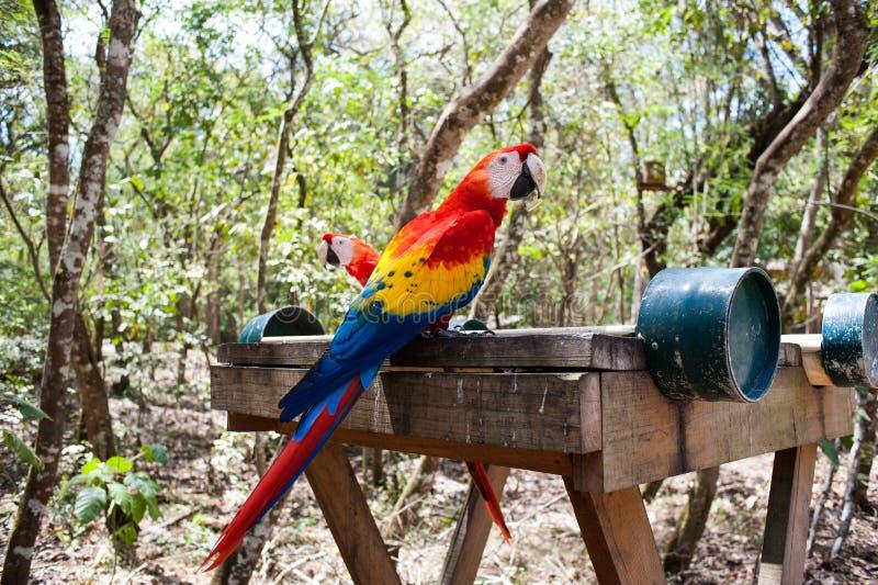Macaws. A pair of Macaws seen in the Ruinas de Copan in Honduras royalty free stock image