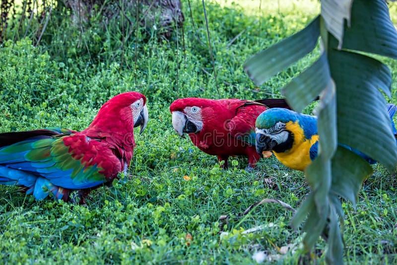 Macaws rojos y macaw azul y amarillo que comen la fruta en la tierra imagenes de archivo