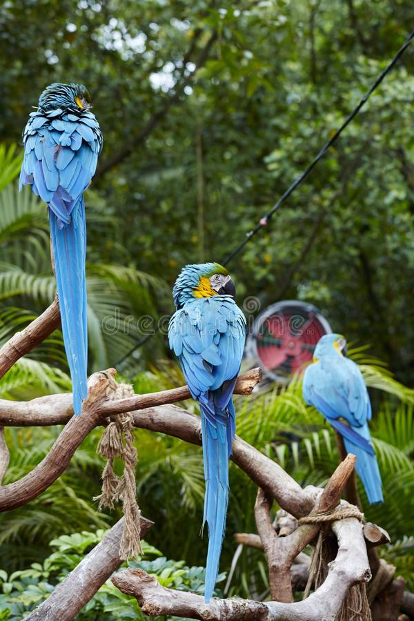 Green Macaws on branch. Macaws standing over tree branches, outdoor wildlife royalty free stock images