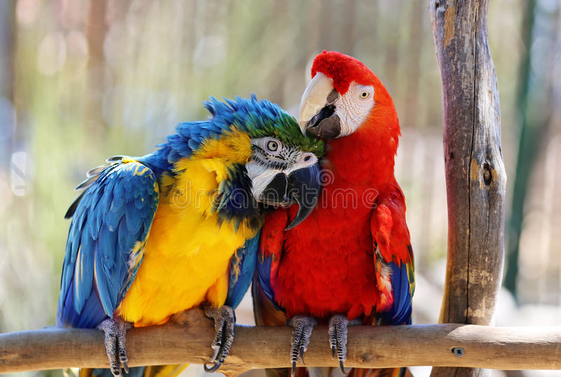 Macaws. Two red and blue macaws grooming each other royalty free stock image