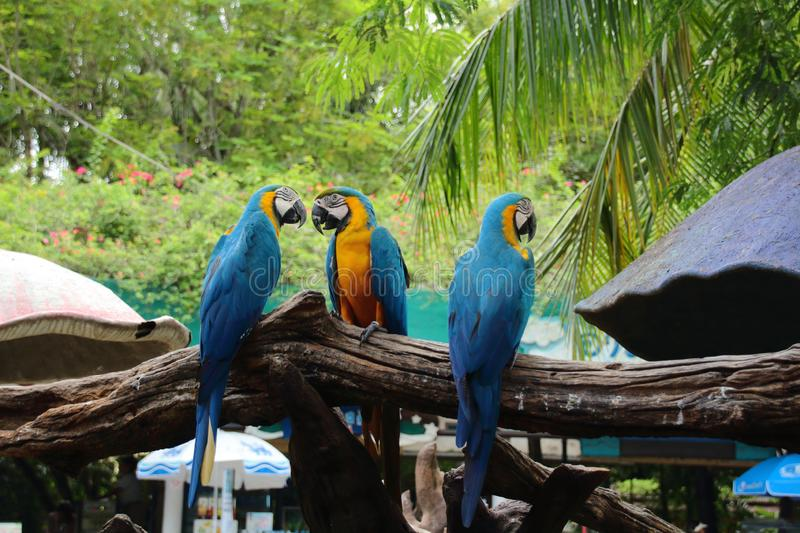 Macaws in the zoo. Animals, wildlife, safari, blue-macaws, wood, branches, day, outdoor, nature, background, birds, blue-birds, three, leaves royalty free stock images